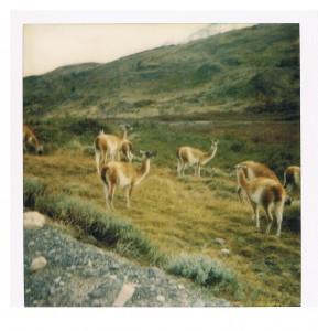 Chile Llamas 2