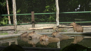 rsz_special_capybara_in_swimming_pool_v2_cropped