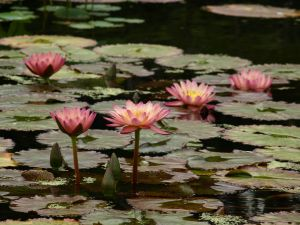 1105363_lily_pods_in_central_park_2