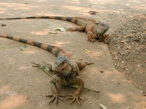 at-the-iguana-farm-694486-m