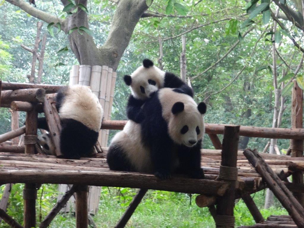 Chengdu Momma Panda and Cub Frolicking 2014 (1)