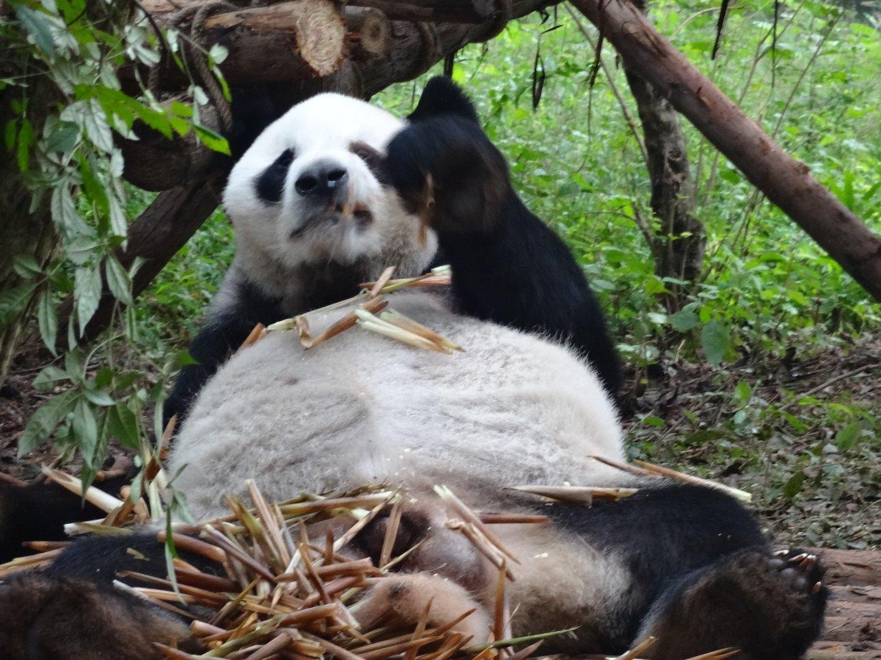 Chengdu Pandas 2014 (6)