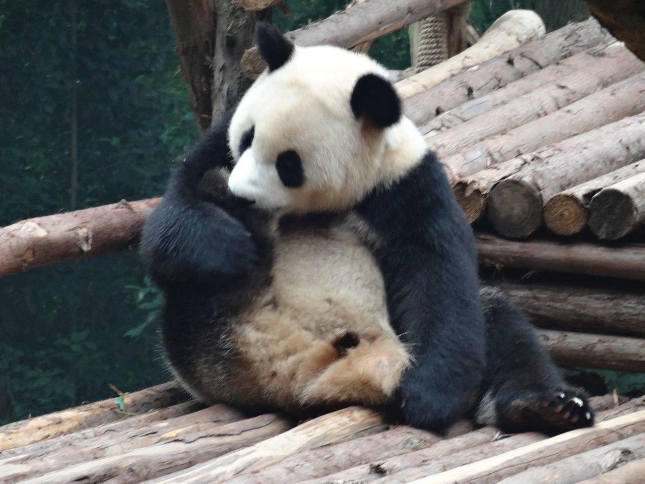 Panda Chillin with an itch (2)
