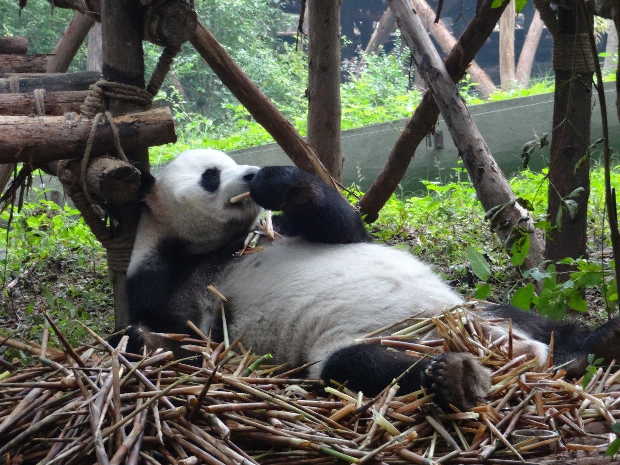 Panda Reserve Chengdu 2014 (4)