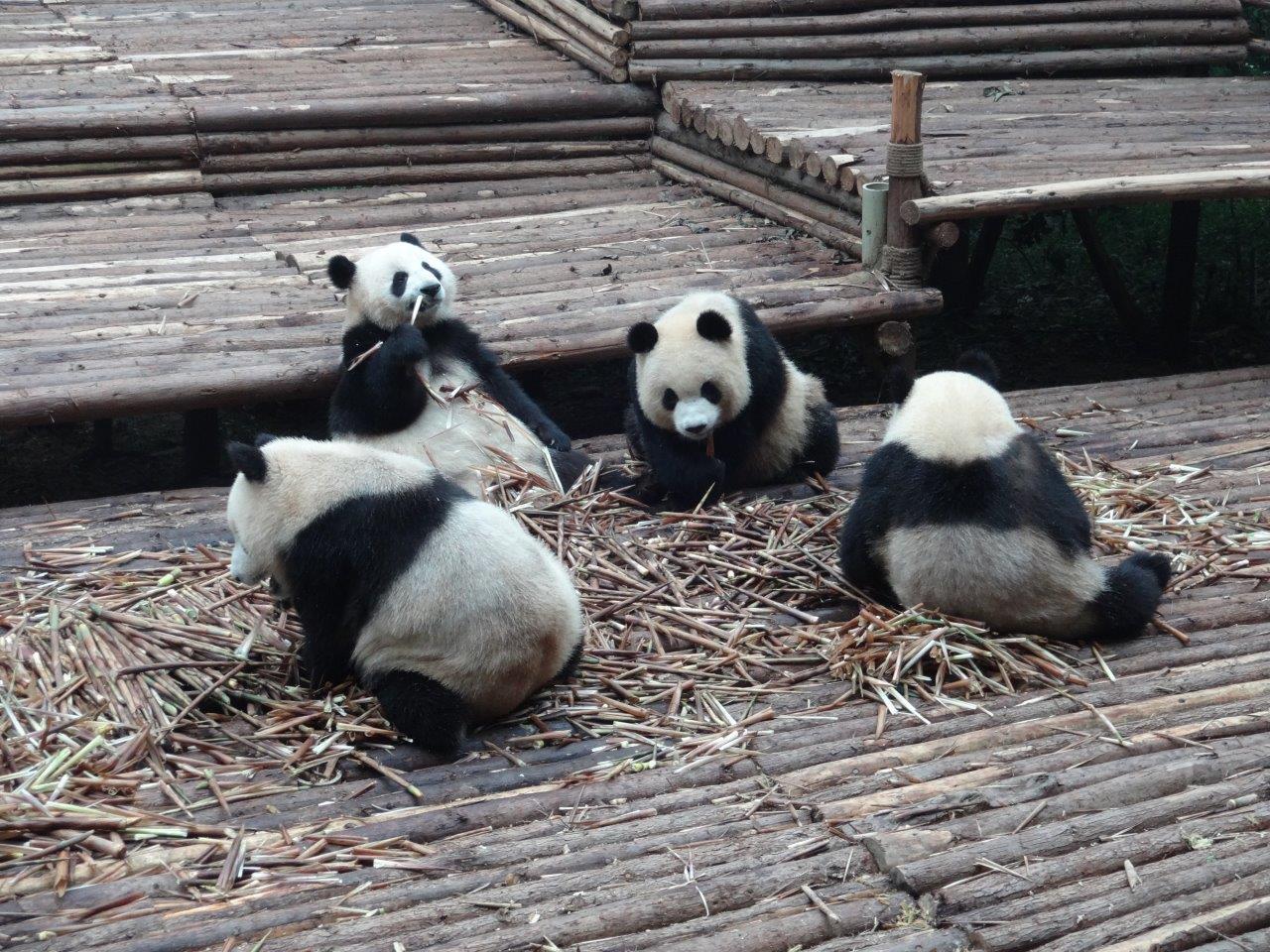 Panda Reserve Chengdu 2014 (5)