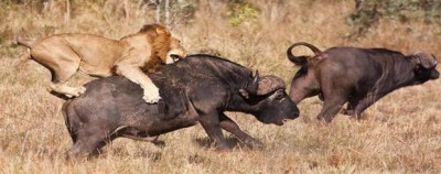 rsz_lion_on_water_buffalo