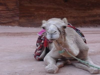 Camel Mideast Travel